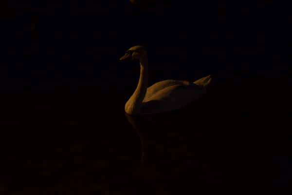 swan in the dark